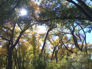 Cottonwood Canopy